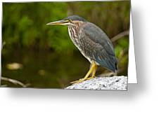 Green Heron Pictures 378 Greeting Card