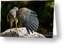 Green Heron Pictures 382 Greeting Card