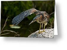 Green Heron Pictures 386 Greeting Card