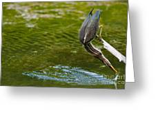 Green Heron Pictures 414 Greeting Card
