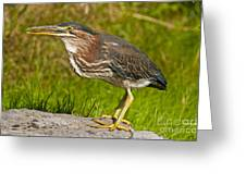 Green Heron Pictures 449 Greeting Card