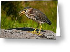 Green Heron Pictures 457 Greeting Card