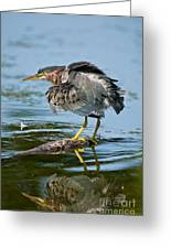 Green Heron Pictures 469 Greeting Card