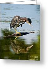 Green Heron Pictures 488 Greeting Card
