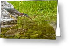 Green Heron Pictures 534 Greeting Card