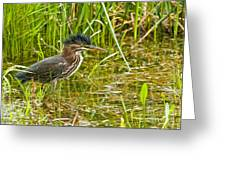 Green Heron Pictures 545 Greeting Card