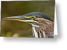 Green Heron Pictures 548 Greeting Card