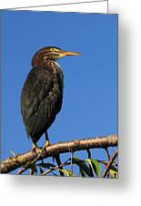 Green Heron Roosts Greeting Card