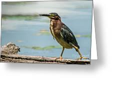 Green Heron Tongue Greeting Card
