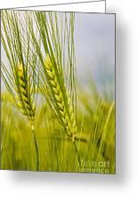 Green Rye Beautiful Greeting Card by Boon Mee