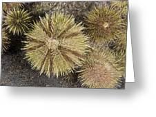 Green Sea Urchins Greeting Card