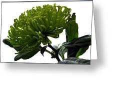 Green Shamrock Chrysanthemum. Greeting Card