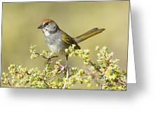 Green-tailed Towhee Greeting Card