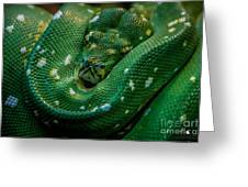 Green Tree Python Curled Greeting Card