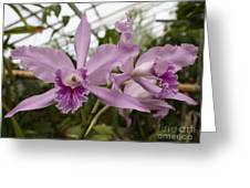 Greenhouse Ruffly Orchids Greeting Card