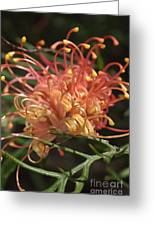 Grevillea  Superb Greeting Card