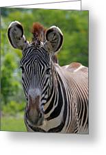 Grevy Zebra Greeting Card