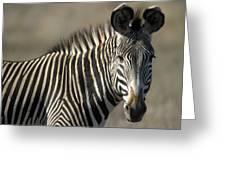 Grevys Zebra Standing In Plains Kenya Greeting Card