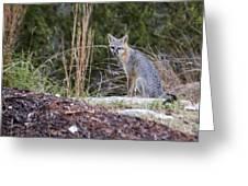 Grey Fox At Rest Greeting Card