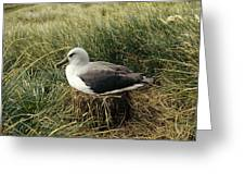 Grey-headed Albatross Nesting Chile Greeting Card