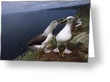 Grey-headed Albatrosses At Nest Site Greeting Card
