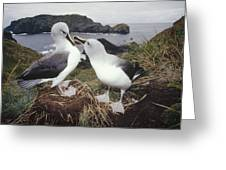 Grey-headed Albatrosses Courting Greeting Card