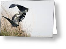 Grey Herons Fighting Greeting Card