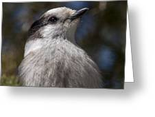 Grey Jay Greeting Card