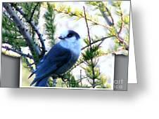 Grey Jay Watching - Oob Greeting Card
