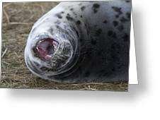 Grey Seal Pup Yawning Greeting Card