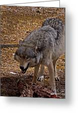 Grey Wolf   #2637-signed Greeting Card