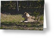 Grey Wolf   #3273-signed Greeting Card