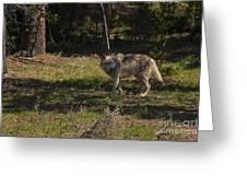 Grey Wolf   #3315 Greeting Card