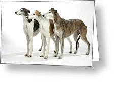 Greyhound Dogs Greeting Card