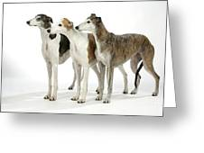 Greyhound Dogs Greeting Card