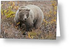 Grizzly Amongst Fall Foliage In Denali Greeting Card