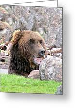 Grizzly Bear 02 Postcard Greeting Card