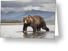 Grizzly Bear In River Katmai Np Alaska Greeting Card