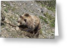 Grizzly Digging Greeting Card