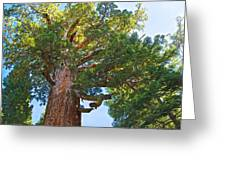 Grizzly Giant Sequoia Top In Mariposa Grove In Yosemite National Park-california    Greeting Card