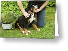 Grooming Bernese Mountain Puppy Greeting Card