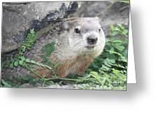 Groundhog Making Sure It Is Safe Greeting Card by John Telfer