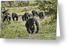 group of Common Chimpanzees running Greeting Card