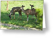 group of Kudu Antelope Greeting Card