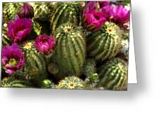 Grouping Of Cactus With Pink Flowers Greeting Card