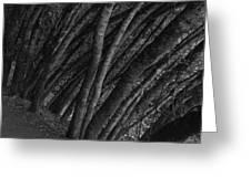 Grove Of Trees In Muir Woods Greeting Card