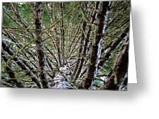 Growing Pine Greeting Card
