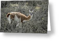 Guanaco Greeting Card