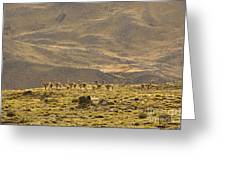 Guanaco Herd, Argentina Greeting Card