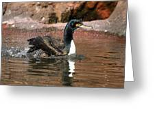 Guanay Cormorant Greeting Card
